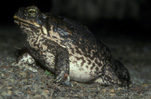 Amphibian, Amphibians, toad, toads, canetoad, canetoads, cane toad, cane toads, cane-toad, cane-toads, bufo, bufo marinus, IS47,