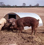 Agriculture, livestock, pig, animal, animals, pigs, meat industry, meat trade, sty, stys, pigsty, pigstys, pig sty, pig stys, pen, pens.