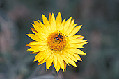 Insect, insects, beetle, beetles, australia, harlequin, harlequin beetle, harlequin beetles, Flora, flower, flowers, helichrysum, helichrysums, bracteatum, helichrysum bracteatum, bracteantha, bracteata, bracteantha bracteata, strawflower, strawflowers, straw flower, straw flowers, paper daisy, paper daisies, asteraceae, everlasting flower, everlasting flowers, everlastings, everlasting daisy, everlasting daisies, australia, IS47,