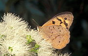 Insect, insects, lepidoptera, Arthropod, Arthropods, insecta, butterfly, butterflies, brown, brown butterfly, brown butterflies, flower, flowers, white, white flower, white flowers.