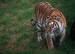 Animal, Animals, Cat, Cats, tiger, tigers, mammal, mammals, placental mammal, placental mammals, carnivore, carnivores, felidae, bengal, bengal tiger, bengal tigers, Zoo, Zoos, Dubbo, Western Plains Zoo, NSW, New South Wales, Australia, wild cat, wild cats, wildlife, panthera, tigris, tigris tigris, panthera tigris, panthera tigris tigris.
