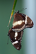 PAIR OF COMMON CROW BUTTERFLIES (EUPLOEA CORE)
