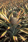 Australia, Qld, Queensland, caboolture, food, fruit, tropical fruit, pineapple, pineapples, agriculture, rural, rural scene, rural scenes, farm, farms, DFF, DFFAGRIC, farming, farm land, farming land, pineapple farm, pineapple farms, ananas, comosus, ananas comosus.