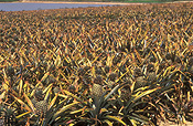 Australia, Qld, Queensland, caboolture, food, fruit, tropical fruit, pineapple, pineapples, agriculture, rural, rural scene, rural scenes, farm, farms, farming, farm land, farming land, pineapple farm, pineapple farms, ananas, comosus, ananas comosus.