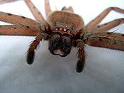 Invertebrate, Invertebrates, Arthropod, Arthropods, Arachnida, Araneae, Heteropodidae, Arachnid, Arachnids, spider, spiders, huntsman, huntsman spider, huntsman spiders, common, common huntsman spider, common huntsman spiders, blair,