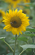 Sunflowers, Photos of Sunflowers, Flowers growing, Helianthus annuus, Yellow flowers, Garden flowers, Floral images, Flower pictures, Nature.