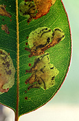 Pest, pests, plant pest, plant pests, sawfly, sawflies, phylacteopha, leafblister, leafblister sawfly, leafblister sawflies, leaf, leaves, leaf blister, leaf blister sawfly, leaf blister saw flies.