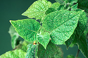 Insect, Insects, pest, Pests, plant pests, mite, mites, spider mite, spider mites, two-spotted mite, two-spotted mites, tetranychus, tetranychus urticae, red spider mite, red spider mites, primula, primulas, plant pest.