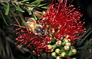 Insect, insects, Bee, Bees, bottlebrush, callistemon, bumble bee, bumble bees, honey, bumblebee, bumblebees, honeybee, honeybees, honey bee, honey bees, pollinate, pollinating, pollination.