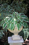 Hosta, hostas, perennial, perennials, herbaceous, shade, shade plant, shade plants, hosta montana, pot, pots, garden pot, garden pots, outdoor pot, outdoor pots, IS47,