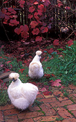 Chicken, Chickens, Animal, Animals, Bird, birds, pet, pets, fowl, silky, chinese silky chicken, chinese silky chickens, chinese silkie chicken, chinese silkie chickens, silkie chicken, silkie chickens, hen, hens, poultry, australia, farm, farms, farming, phasianidae.