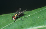 Insect, Insects, Arthropod, Arthropods, insecta, flies, fly, Blowfly, blowflies, blow fly, blow flies, Lucilia, diptera.