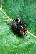 Insect, Insects, Arthropod, Arthropods, insecta, flies, fly, Blowfly, blowflies, Lucilia, diptera.
