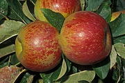 Food, Apple, Apples, Plant disease, Plant diseases, mildew, mildews, powdery mildew, russet, russetting, podosphaera leucotricha, red apple, red apples, malus, apple russetting.