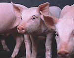 Agriculture, livestock, pig, animal, animals, pigs, meat industry, meat trade, piglet, piglets, baby animal, baby animals, young animal, young animals, cute animal, cute animals, litter, litters.