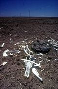 Climate, weather, drought, drought scene, drought scenes, disasters, natural disasters, bones, Barkly tableland, dead, dead animal, dead animals, australia, bone.