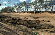 Climate, weather, drought, drought scene, drought scenes, disaster, disasters, natural disaster, natural, natural disasters, river, rivers, dead, dead animal, dead animals, australia, animal, animals, northern territory, nt, outback, australian outback, outback australia, tree, trees.