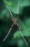 Spider, spiders, arachnid, arachnids, argiope, St Andrew's Cross, spiders, St. Andrews Cross Spiders. Saint Andrews Cross spiders, St Andrew's cross spiders, Argiope,