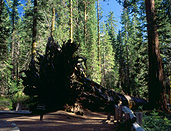 America, USA, United States, United States of America, California, National Park, National Parks, Yosemite, Yosemite NP, Yosemite National Park, redwood, redwood tree, redwood trees, mariposa, mariposa gove, national parks, forest, forests, woods, FF25,