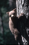 Animal, animals, bear, bears, mammal, mammals, brown bear, brown bears, baby animal, baby animals, young animal, young animals, yosemite, yosemite np, yosemite national park, USA, United States, United States of America, America, tree, trees, national parks, national parks, california, FF25,