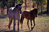 Australia, New South Wales, hawkesbury, hawkesbury area, hawkesbury region, hawkesbury district, animal, animals, horse, horses, australia, new South Wales, nsw, brown, brown horse, brown horses, hawkesbury, hawkesbury valley.