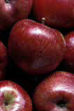 Fruit, Apples, Malus, Rosaceae, Agriculture, red apples, red apple, apple. HARVESTED RED APPLES, HARVESTED RED APPLE,