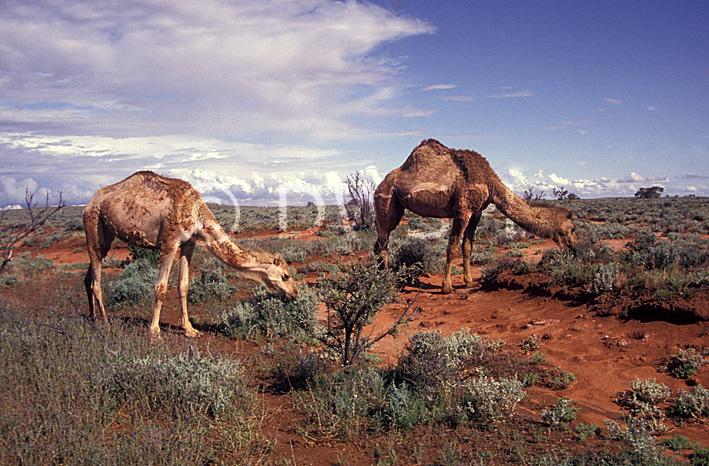 Australia, Australian, Australian desert, Australian deserts, Animal