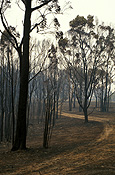 Australia, New South Wales, Sydney, natural, natural disaster, natural disasters, Fire, Fires, bushfire, bushfires, burnt, disaster, disasters, sydney bushfire, sydney bushfires, forest, forests, tree, trees.