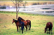 Australia, New South Wales, hawkesbury, hawkesbury area, hawkesbury region, hawkesbury district, animal, animals, horse, horses, brown, brown horse, brown horses, rural, rural scene, rural scenes.