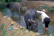 Asia, china, buffalo, buffaloes, water, animal, animals, water buffalo, water buffaloes, people, woman, women, female, females, stream, streams, bubulus, ungulate, chordata, mammal, mammals, bovidae, bovinae, people, wash, washes, washing, creek, creeks, hat, hats.