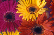 Flower, flowers, flower arrangements, cut flowers, floral arrangements, gerbera, gerberas, red flower, red flowers, yellow, yellow flower, yellow flowers, pink flower, pink flowers, Daisy Jane,