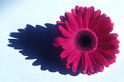 Flower, flowers, flower arrangements, cut flowers, floral arrangements, gerbera, gerberas, shadow, shadows, red gerbera, red gerberas, red flower, red flowers, Daisy Jane,