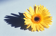 Flower, flowers, flower arrangements, cut flowers, floral arrangements, gerbera, gerberas, shadow, shadows, yellow gerbera, yellow gerberas, yellow, yellow flower, yellow flowers, Daisy Jane,