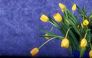 Flower, flowers, cut flowers, floral arrangements, tulip, tulips, tulipa, yellow, yellow flower, yellow flowers, Daisy Jane,
