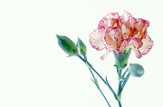 Flower, flowers, carnation, carnations, dianthus, pink carnation, pink carnations, pink flower, pink flowers, dianthus caryophyllus, Daisy Jane,