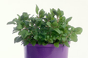 Herb, Herbs, pot, pots, potted, garden pot, garden pots, outdoor pot, outdoor pots, potted herbs, potted marmoram, marjoram, sweet marjoram, origanum majorana, origanum, marjoram, labiatae, annual marjoram, knotted marjoram, Daisy Jane,