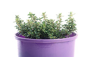 Herb, Herbs, pot, pots, potted, garden pot, garden pots, outdoor pot, outdoor pots, potted herbs, potted thyme, thymus, thyme, pot, pots, Daisy Jane,