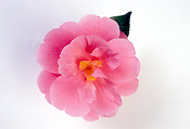 Flower, flowers, camellia, camellias, pink, pink flower, pink flowers, waltz time, Daisy Jane,