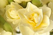 Flower, flowers, floral arrangements, cut flowers, narcissus, jonquil, jonquils, yellow, yellow flower, yellow flowers, spring, spring flower, spring flowers, springtime, spring time, Daisy Jane,