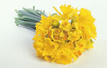 Flower, flowers, yellow, yellow flower, yellow flowers, cut flowers, flower arrangements, floral arrangements, daffodil, daffodils, narcissus, bunches, spring, spring flower, spring flowers, springtime, spring time, Daisy Jane,