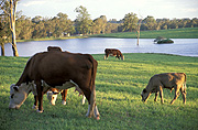 Farming, Farmland, farm, farms, animal, animals, cattle, meat industry, meat trade, cow, cows, livestock, agriculture, grazing, Australia, New South Wales, hawkesbury, hawkesbury area, hawkesbury region, hawkesbury district, Hawkesbury, Hawkesbury Valley, NSW, New South Wales, Australia, rural, rural scene, rural scenes, dam, dams, water, water storage.