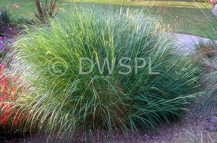 Stipa calamagrostis spear grass an ornamental grass for Tall grass border