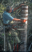 Gardening, gardener, gardeners, people, occupation, occupations, tree, trees, pruning, tree lopper, tree loppers, tree lopping, tree cutting, cutting trees, lopping, harness, safety harness, saw, saws, sawing, tree sawing, cutting down tree, cutting down trees, cutting down tree, man, men, male, males, electric saw, electric saws, pruning, Royalty Free Image