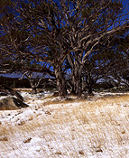 Australia, New South Wales, snowy mountains, great dividing range, eucalyptus, eucalyptus trees, gum tree, gum trees, snow gum, snow gums, tree, trees, snow, snow scene, snow scenes, winter, winter scene, winter scenes, snowy mountains, alps.