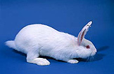 Animal, animals, rabbit, rabbits, white rabbit, white rabbits, tag, tags, tagged, identification tag, identification tags, tagged animal, tagged animals, new zealand white rabbit, new zealand white rabbits, pet, pets, pet rabbit, pet rabbits, domestic, domestic animal, domestic animals.