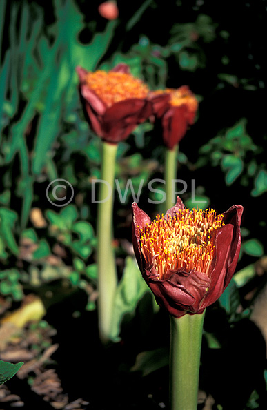 stock photo image: Flower, flowers, red, red flower, red flowers, haemanthus, coccineus, haemanthus coccineus, blood lily, blood lilies, native blood lily, native blood lilies, blood flower, blood flowers, march lily, march lilies, amaryllidaceae, april fool, ox-tongue lily, ox-tongue lilies, witches paintbrush, witches paintbrushes.