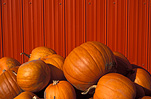 Vegetable, vegetables, pumpkin, pumpkins, chilliwack, british columbia, canada, Cucurbitaceae, Cucurbita, fence, fences.