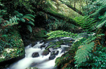 Australia, New South Wales, new england, great dividing range, new england np, new england national park, national park, national parks, moss, rainforest, rainforests, forest, forests, water, creek, creeks, stream, streams, fern, ferns.