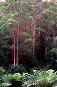 Australia, qld, queensland, lamington, great dividing range, lamington np, lamington national park, national park, national parks, rainforest, rainforests, forest, forests, fern, ferns, eucalypt, eucalypts, eucalyptus, eucalyptus tree, eucalyptus trees, gum tree, gum trees.