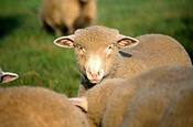 Animal, animals, sheep, meat industry, meat trade, sheep, livestock, agriculture, rural, rural scene, rural scenes, sussex downs, sussex downs sheep, england, britain, great britain, uk, united kingdomAustralia, Sport pictures, Sports, balloon images, hot air balloons